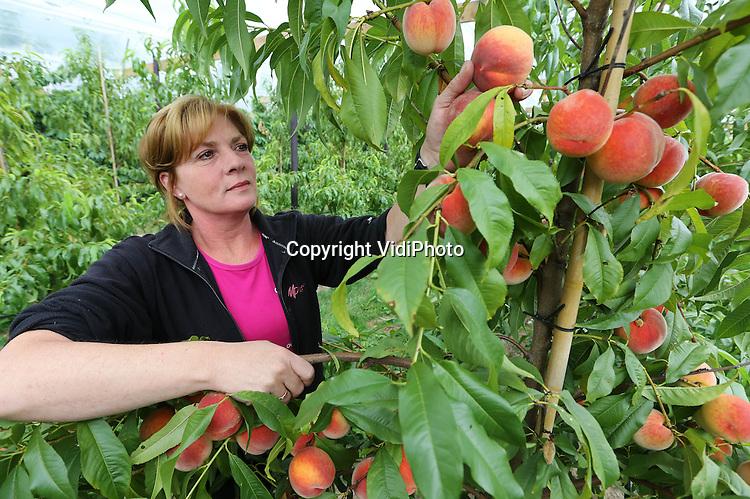 Foto: VidiPhoto<br /> <br /> ZOELEN - De eerste perziken 'rollen' dinsdag van de perzikenboomgaard bij Arie en Dorien van Ojen uit het Betuwse Zoelen. De van oorspronk kersenteler oogst dit jaar voor het eerst perziken, abrikozen en nectarines van zijn eigen uitheemse boomgaard. Klanten van Van Ojens fruitstalletje -Oike's Kersenkraam- geloven nauwelijks dat de Zuid-Europese vruchten van de 'koude' Hollandse grond komen. Het telen van perziken in de buitenlucht komt vrijwel niet voor in Nederland en zeker niet op deze schaal. De familie van Ojen heeft zo'n 300 bomen. Omdat de perziken geen verre reis hoeven te maken naar de consument, worden ze rijper geplukt en is de smaak beter.