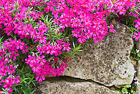 Phlox subulata 'Scarlet Flame' creeping groundcover flowering spring plant, climbing over rocks in sloped garden