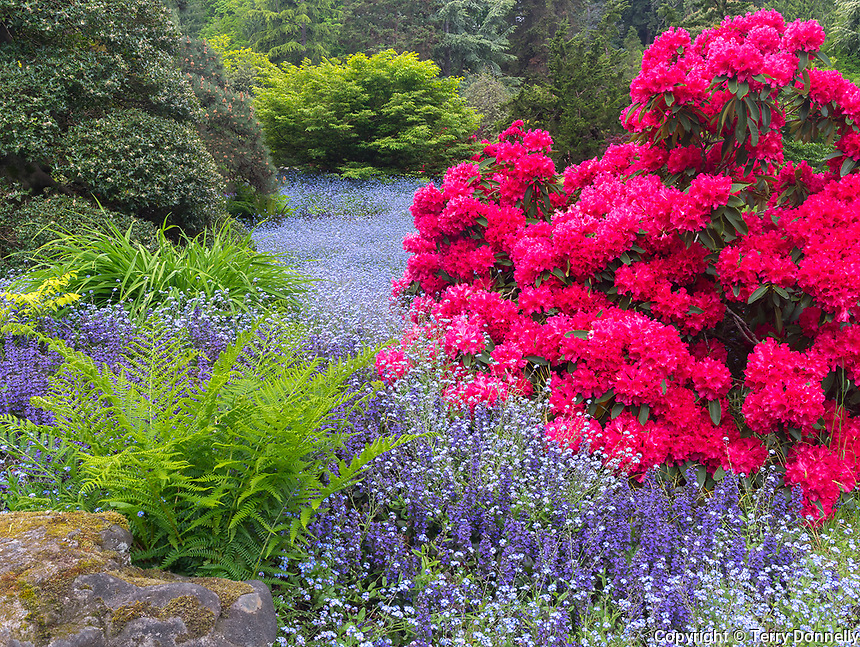 Seattle, WA<br /> Kubota Garden city park, spring view of blue forget-me-nots among red rhododendron blossoms