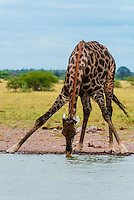 Giraffe at a watering hole drinking water, Nxai Pan National Park, Botswana.