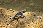 Bluebelly Lizard Display, Western Fence Lizard, Sepulveda Wildlife Refuge, Southern California