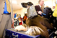 Backstage at the 130th annual Westminster Kennel Club Dog Show, held at Madison Square Garden in New York City on February 14, 2006.  <br /> <br /> The Westminster Kennel Club Dog Show is considered to be the most prestigious dog show in the world, a two day event comprising competitions in all 179 breeds of dog recognized by the American Kennel Club.  It is also the second oldest continuously run sporting event in the United States (after the Kentucky Derby), having taken place annually since 1875.  <br /> <br /> The competition is a conformation dog show, meaning that the dogs are judged by how close they match the published ideal standards for their particular breed.  More uncommonly the competition is &quot;benched&quot;, meaning that the dogs are required to be in assigned areas (or benches) while not being judged, allowing them to interact with fans and other breeders.  Dogs are therefore under constant scrutiny throughout the whole process, as are the other species in the competition, namely the owners, handlers, and breeders of these animals.