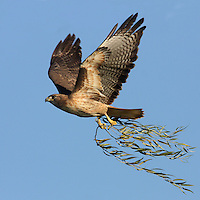 Red-tailed Hawk (Buteo jamaicensis) collecting willow branches to build a nest. Shoreline Park. Mountain View, Santa Clara Co., Calif.