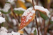 Besneeuwd herfstblad van Viburnum x burkwoodii