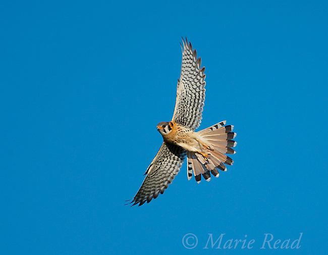 American Kestrel (Falco sparverius), male taking flight, Mono Lake Basin, California, USA