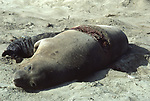 Female elephant seal with shark wound