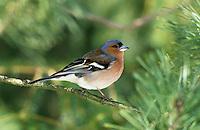 Buchfink, Männchen, Fringilla coelebs, chaffinch