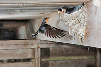 Barn Swallow (Hirundo rustica), female feeding young in nest, Dinero, Lake Corpus Christi, South Texas, USA