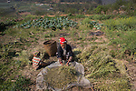 Hmong Zao woman harvesting vegetables, Sapa, Northern Vietnam