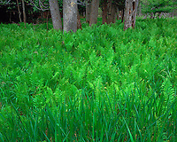 Field of ferns; Manistee National Forest, MI