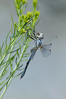 389270017 a wild male bleached skimmer libellula composita feeds on a damselfly while perched on a plant near the sulfa ponds in mono county california