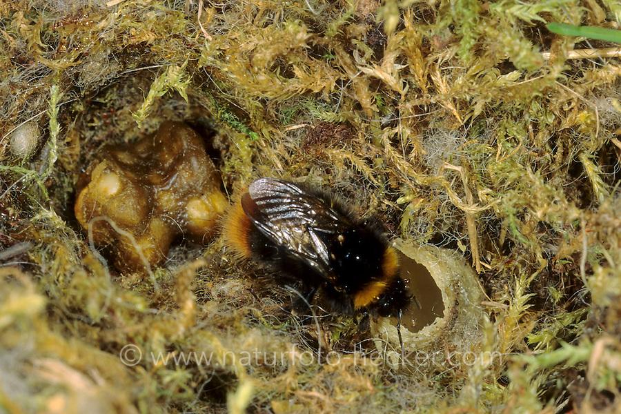 Wiesenhummel, Wiesen-Hummel, Nest, Hummelnest, Königin bei der Nestgründung, am Honigtopf, Bombus pratorum, syn. Pyrobombus pratorum, early bumble bee