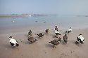 Eiders (Somateria mollissima) on sandy beach in harbour, Northumberland, UK. May.
