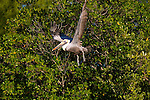 pelican ,in, flight , Fla.,estuary.