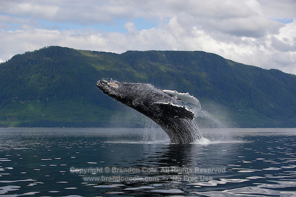 pu0829-D. Humpback Whale (Megaptera novaeangliae) breaching. Alaska, USA, Pacific Ocean..Photo Copyright © Brandon Cole. All rights reserved worldwide.  www.brandoncole.com..This photo is NOT free. It is NOT in the public domain. This photo is a Copyrighted Work, registered with the US Copyright Office. .Rights to reproduction of photograph granted only upon payment in full of agreed upon licensing fee. Any use of this photo prior to such payment is an infringement of copyright and punishable by fines up to  $150,000 USD...Brandon Cole.MARINE PHOTOGRAPHY.http://www.brandoncole.com.email: brandoncole@msn.com.4917 N. Boeing Rd..Spokane Valley, WA  99206  USA.tel: 509-535-3489