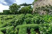 France, Indre-et-Loire (37), Amboise, château d'Amboise,  en contrebas du jardin d'Orient, petit espace donnant au bord des remparts avec croisillons de santolines et de rosiers rugueux blancs, chênes liège et figuier en espalier
