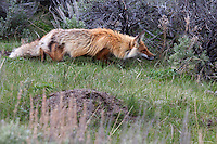 Red foxes  (Vulpes vulpes)  are social animals, whose groups are led by a mated pair which monopolizes breeding. Subordinates within a group are typically the young of the mated pair, which remain with their parents to assist in caring for new kits. The species primarily feeds on small rodents, though it may also target game birds, reptiles, invertebrates and young ungulates. Fruit and vegetable matter is also eaten on occasion. Although the red fox tends to displace or even kill smaller predators, it is nonetheless vulnerable to attack from larger predators, such as wolves, coyotes, or medium- and large-sized felines.