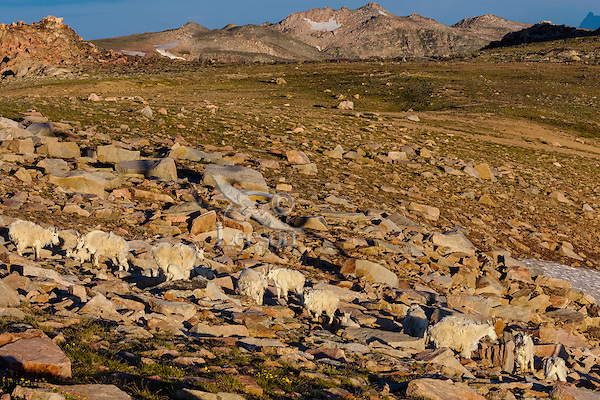 Mountain Goat herd (Oreamnos americanus) in the Beartooth Mountains near the Wyoming/Montana border.   Mostly a nanny and kid group among granite boulders.