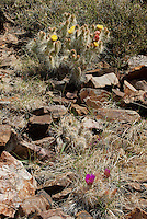 161260010 a wild mojave prickly pear cactus opuntia polycantha var erinacea produces large bright yellow flowers and an  engelmann hedgehog cactus echinocereus engelmannii puts forth large purple flowers near eureka dunes inyo county california