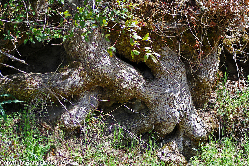 Gnarled tree roots along Muir Mill Road in Willits in Mendocino County in Northern California.