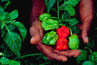 Field worker holding Habanero peppers in hands, Matura, Trinidad