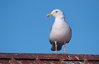 Glaucous-winged Gull, Larus glaucescens,adult on roof top, Homer, Alaska, USA, March 2000
