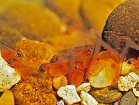 Rainbow trout fry, with egg sacks. Oregon.