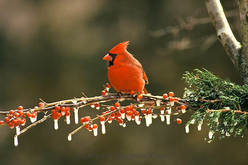 Northern male cardinal in winter ice on evergreen branch and Holly