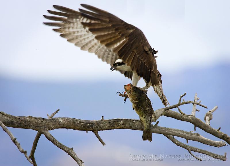 """""""Osprey with Fish-3"""", Montana"""