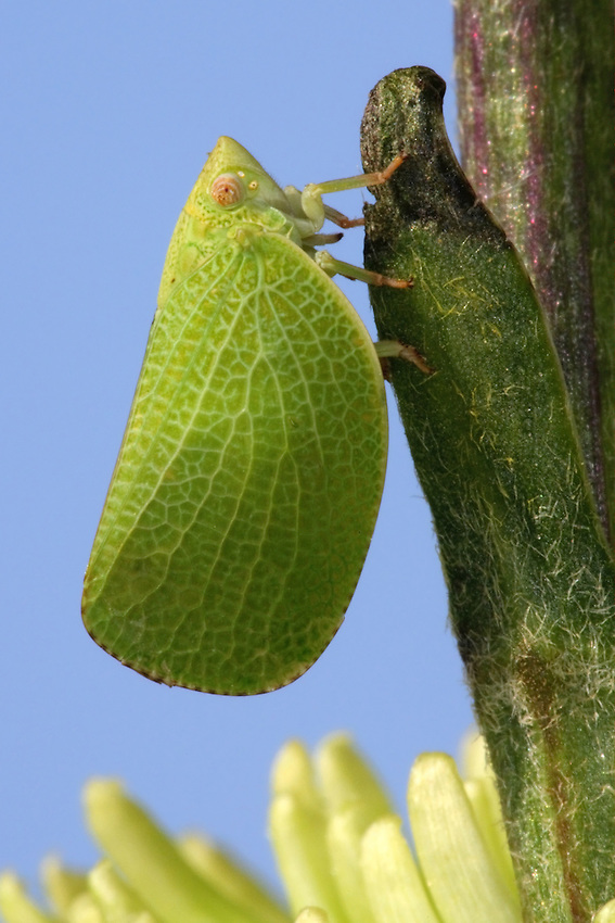 Leafhopper is a common name applied to any species from the family Cicadellidae.