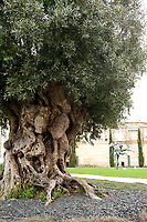 La Grande Maison, 2000 year old Andalucian olive tree, Bordeaux, France,