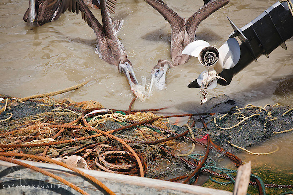 Pelicans fighting for a fish ropes,nets debris, a propeller with fishbones Orangefield