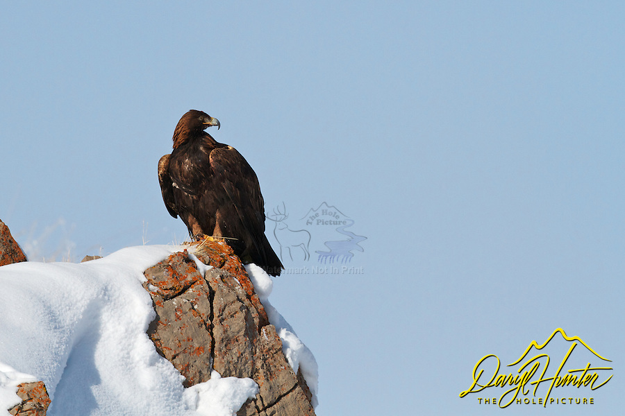 Perched Golden Eagle, Jackson Hole, Wyoming