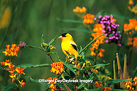 01640-123.20 American Goldfinch (Carduelis tristis) male on Verbena bonariensis & Butterfly Milkweed in garden Marion Co. IL