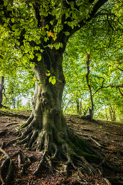 Hampshire woodland with old beech tree