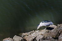 A Black-crowned night heron forages along the rocky shore of the San Leandro Marina on San Francisco Bay, California.