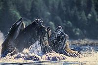adult humpback whales, Megaptera novaeangliae, bubble net feeding, Chatahm Strait, Alaska, USA, Pacific Ocean