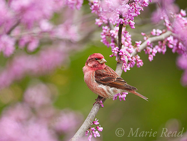 Purple Finch (Carpodacus purpureus), male perched in flowering redbud in spring, New York, USA