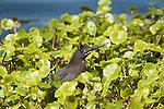 Green Heron.Butorides virescens.at Viera Wetlands Viera Florida, February 28, 2008. Fitzroy Barrett