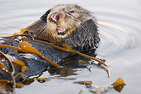 Southern sea otter, Enhydra lutris nereis, resting in kelp, female, yawning, reflection, sunset, dusk, Monterey, California, USA, pacific ocean, national marine sanctuary, endangered species