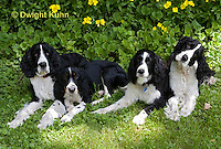 SH25-703z English Springer Spaniels, 4 month to 12 years old