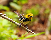 Adult female black-throated green warbler at Paradise Pond in April