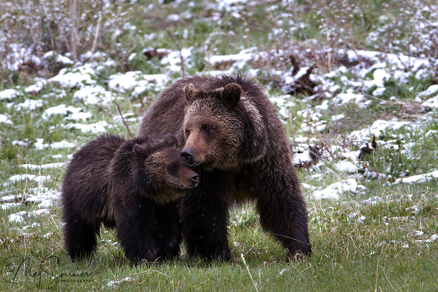 This Grizzly bear (Ursus arctos horribilis) mom or sow, has been teaching her cub to survive in the wild for over a year. It is still hesitant on occasion, but mom just keeps teaching daily.  By the cub's 2nd year, mom will decide at some point he is ready to be on his own and send him on his way.