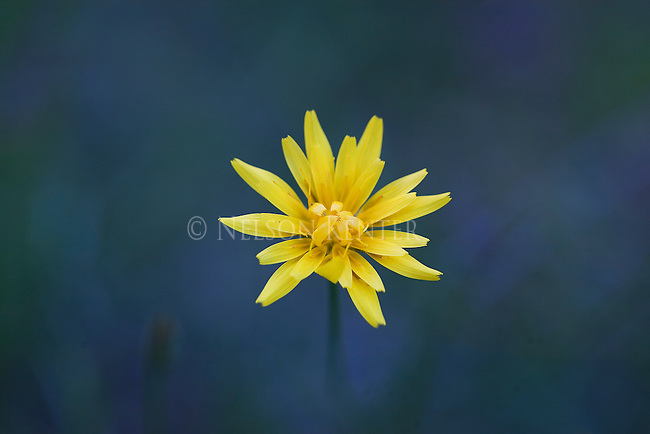 An Agoseris flower opining in spring