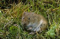 Feldmaus, Feld-Maus, Wühlmaus, Wühl-Maus, Maus, Microtus arvalis, common vole