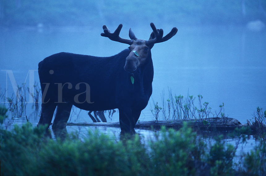 Bull Moose on a summers misty morning standing in Stump Pond, Baxter State Park, Maine.
