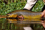 A nice brown trout