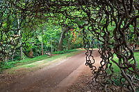 Road through National Tropical Botanical Garden with Red Jade Vine - New Guinea Creeper. Kauai, Hawaii