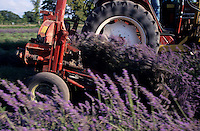 Tractor wheels ploughing through a lavender field during harvest.