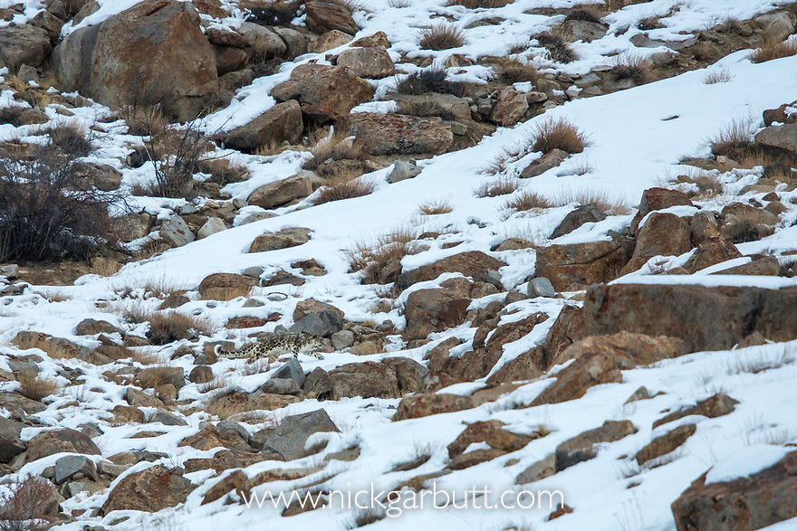 Male snow leopard (Panthera uncia) (formerly Uncia uncia) moving over rocky, snow-covered slopes. Ulley Valley, Himalayas, Ladakh, India.